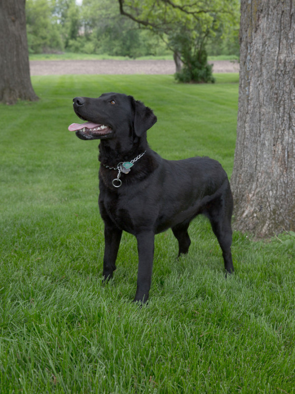 Labrador Retriever AKC, registered, breeders in Iowa ...