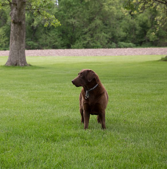 Welcome to Bear Creek Labs - AKC Registered Labrador Dogs in